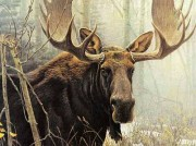 """Bull Moose"" Lithograph by Robert Bateman"