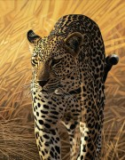 """""""Leopard Series I"""" Giclee on Paper by AD Maddox"""